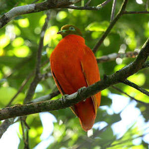 orange dove fiji