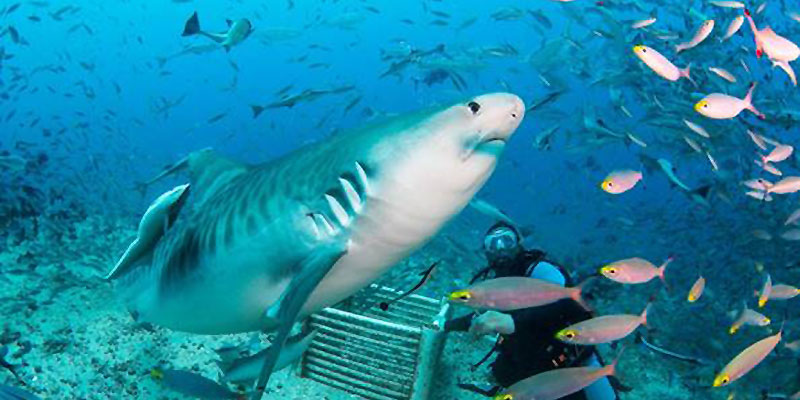 shark diving pacific harbour fiji
